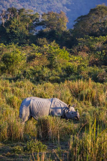 Nashorn im Kaziranga-Nationalpark, Indien