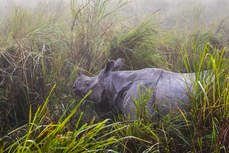 Nashorn im Kaziranga Nationalpark, Indien